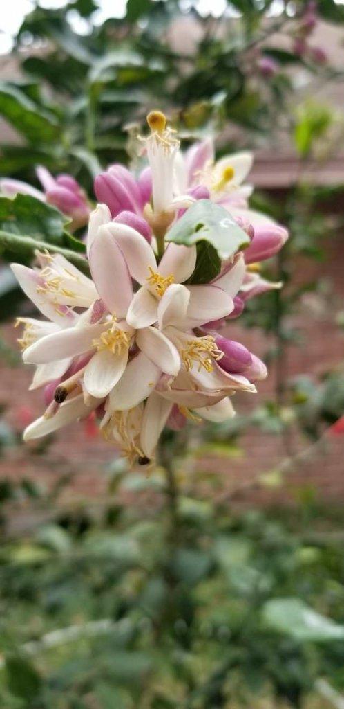 Off white pinkish flowers