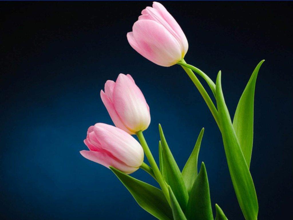3 pink tulip flowers