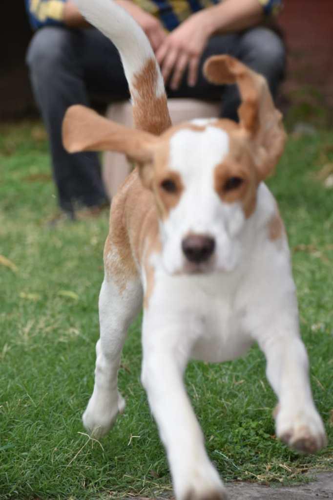 Beagle running